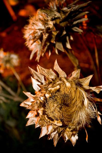 Artichoke Flowers at Night by bonfire light