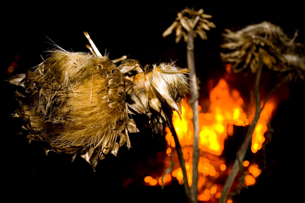 Artichoke flower lit up by the bonfire