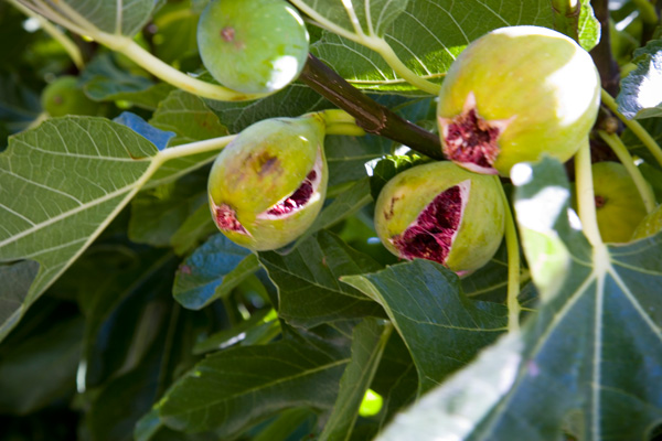 dessert of fresh ripe figs straight from the tree