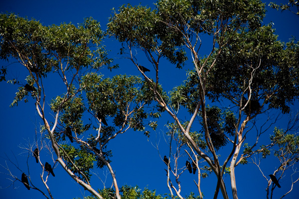 Crows talking at top volume in the Eucalyptus tree