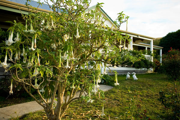 tree with long cream pendulant bell flowers