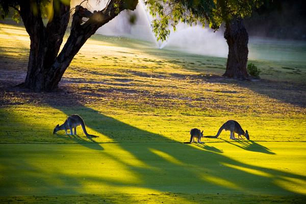 Kangaroos browsing on Anglesea Golf Course Australia