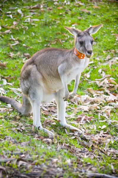 Kangaroo classic pose