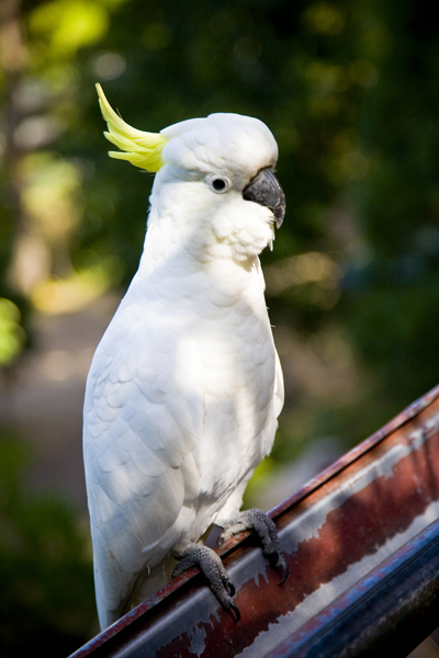 A Sulpher Crested Cockatoo is eyeing up the breaklfast Table!