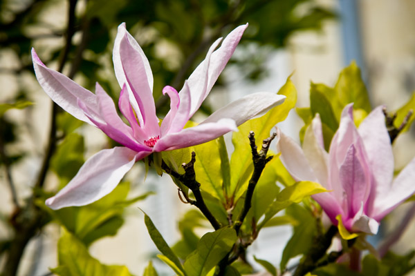 Magnolia Blossom at Chateau de Tilly in the Loire Valley