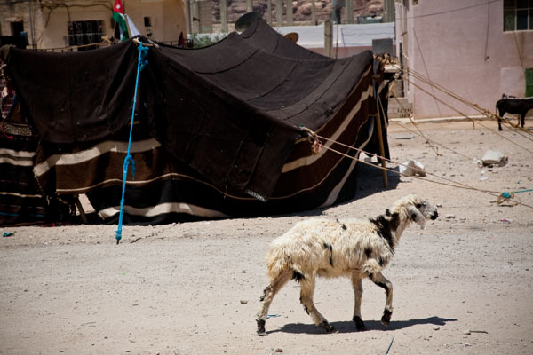 A goat wanders past the Bedouin wedding tent inside the Bedouin Village in