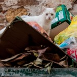 alley cat in the rubbish bin n the Greek island of Chios.